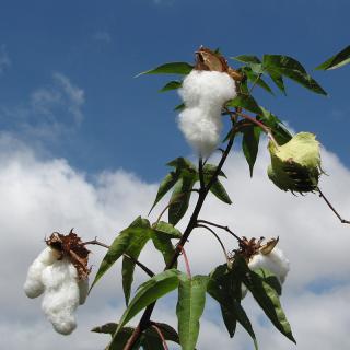 Cotton tree, Levant cotton, Gossypium herbaceum