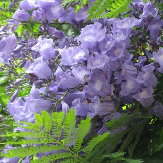 Jacaranda tree, Jacaranda mimosifolia,jacaranda, blue jacaranda, black poui, fern tree