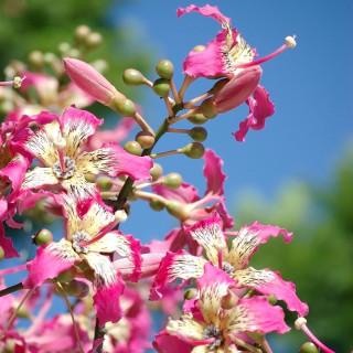 Chorisia speciosa : Silk floss tree