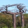 Adansonia suarezensis : Suarez baobab