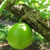 Crescentia cujete : Calabash tree