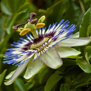 Passiflora caerulea : Blue passion flower