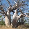 Adansonia gregorii : Boab
