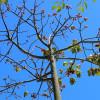 Monodora myristica : Pink flame tree