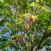 Brachychiton discolor : Pink flame tree