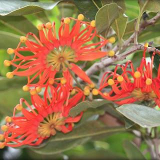 Stenocarpus sinuatus : Firewheel tree