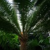 Dioon spinulosum : Giant Dioon