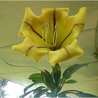 Solandra grandiflora : Chalice vine