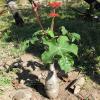Buddha Belly Plant - Jatropha podagrica