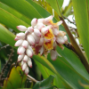 Alpinia zerumbet,  shell ginger plant, pink porcelain lily, variegated ginger,  butterfly ginger.