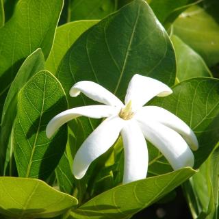 Gardenia taitensis :Tahitian gardenia or Tiaré flower