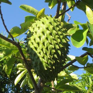 Soursop tree, Annona muricata, graviola, guyabano