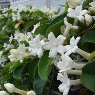Stephanotis floribunda : Madagascar jasmine