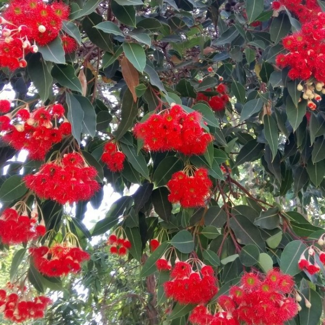 Red flowering gum tree,  Corymbia ficifolia